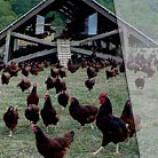 سوالات فنی و حرفه ای پرورش مرغ بومی(ادواری)