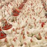 سوالات فنی و حرفه ای کارگر فنی مرغداری صنعتی گوشتی (ادواری)